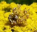 caterpillar on yarrow - Synchlora aerata