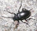 Black beetle - Tarpela micans