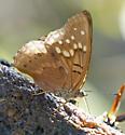 Estero Buterfly - Asterocampa clyton