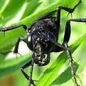 Great Black Wasp - Sphex pensylvanicus - female
