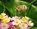 Bee Fly - Heterostylum robustum