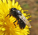 Large dark bee - Osmia montana
