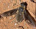 Progressive Bee Fly? - Poecilanthrax californicus