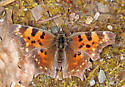 Comma - Polygonia faunus