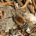 bee or fly - Anthophora urbana - male