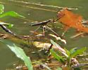 Water scorpion? - Ranatra