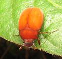 Bright orange - Maladera castanea