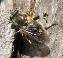 Fly - Brachypalpus oarus - female