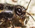 Allonemobius fasciatus - Striped Ground Cricket? - male