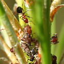 Ants with Aphids on Pine - Dolichoderus mariae