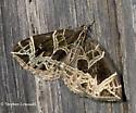 Geometric Design Moth - Ecliptopera atricolorata