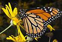 November Monarch - Danaus plexippus - male