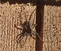 Wolf spider of some sort? - Pardosa
