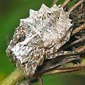 Starbellied Orbweaver - Acanthepeira stellata