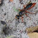 burrowing wasp - Sphex jamaicensis