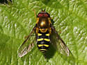 Syrphid sp. - Syrphus opinator