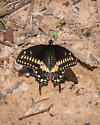Georgia April - Papilio polyxenes - male