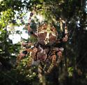 BIG orbweaver - Araneus bicentenarius - female