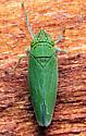 Draeculacephala inscripta