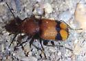 Ground Beetle - Panagaeus fasciatus