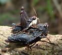 Mating grasshoppers - Tettigidea lateralis - male - female