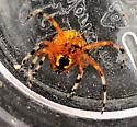 Possible Orb Weaver? - Araneus marmoreus