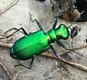 Tiger beetle, Cicindela sexguttata? - Cicindela sexguttata
