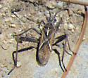 Small Brown Bug - Tollius setosus