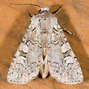 Euxoa vetusta - female