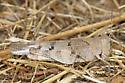 Trimerotropis of some kind ? - Dissosteira pictipennis - female