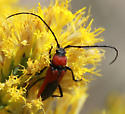 Cerambyidae (I think), what genus/species? - Crossidius - male
