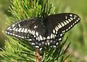 Swallowtail - Papilio zelicaon