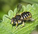 Anthidium ? - Anthidium manicatum