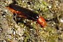 Sapwood Timberworm - Hylecoetus lugubris - female