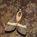 small moth - Cisthene tenuifascia