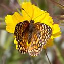 small butterfly - Chlosyne acastus - female