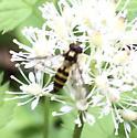 Syrphid on Actaea - Meliscaeva cinctella