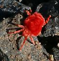 spider pos. red fuzzy, small - Dinothrombium
