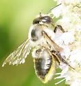 Leaf-cutter Bee Subgenus Xanthosarus - Megachile