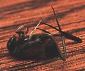 Dead ensign wasp - Evania appendigaster