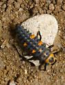 Coccinelidae larva