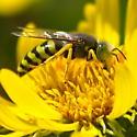 Sand Wasp - Bembix americana - female
