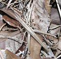 Big Slender Grasshopper - Pseudopomala brachyptera - female