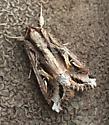 Spodoptera dolichos