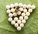Stinkbug egg parasitoids. 8/25/12 - Trissolcus