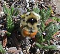 Alpine bumble bee 1 - Bombus sylvicola