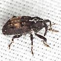 Bark Beetle - Cophes obtentus