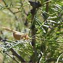 Brown Katydid - Insara elegans - male