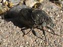 Cicada Species? - Cacama moorei