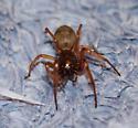 Bathroom spider - Trachelas tranquillus - female